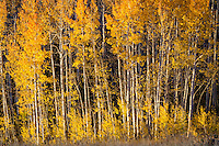 Brightly glowing golden aspen trees shine in the early morning sun in Utah's Wasatch Mountains