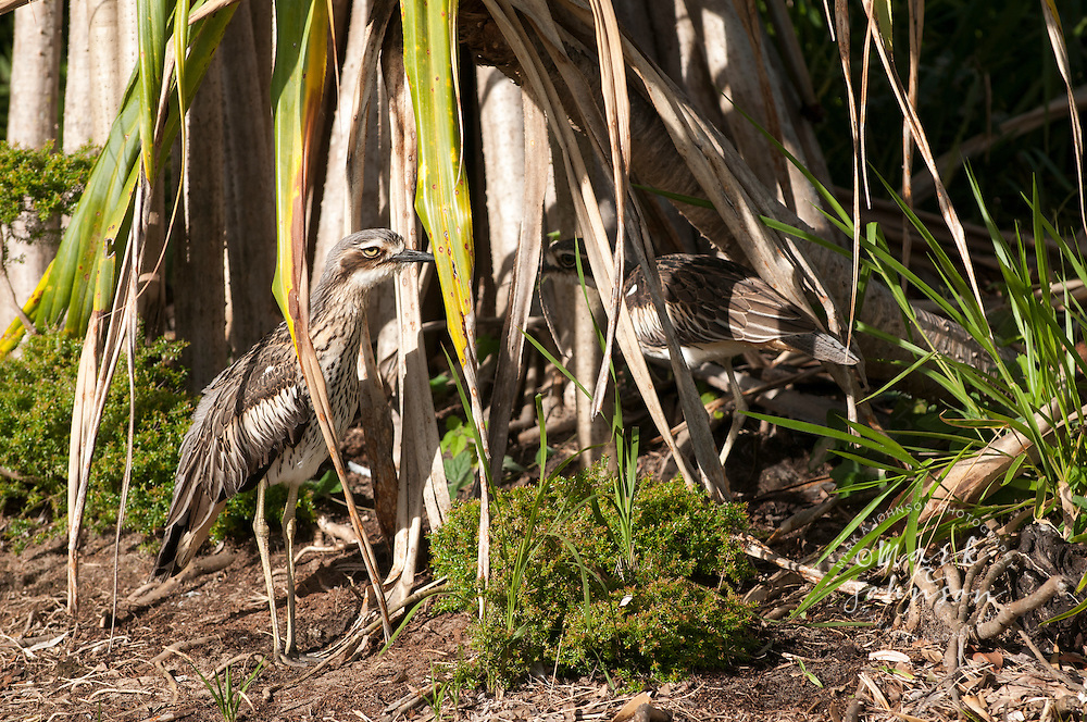 Bush Stone-curlews (Burhinus grallarius), N. Stradbroke Island, Queensland, Australia