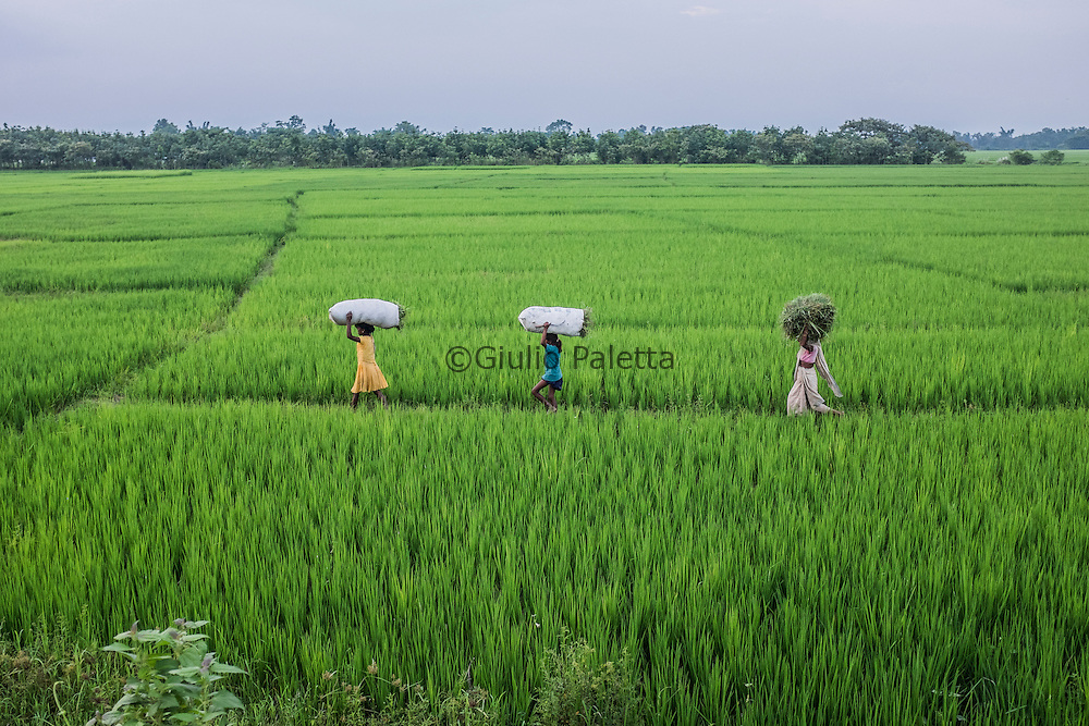 Rice fields and workers outside Udalguri, Assam state, India