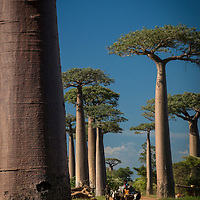 The Avenue or Alley of the Baobabs is a dirt road lined with baobab trees in the Menabe region of western Madagascar.  This type of baobab tree known as Adansonia grandidieriis or Grandidier's baobab which is endemic to Madagascar.