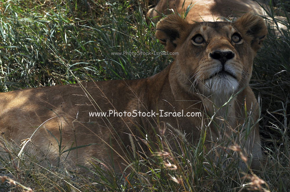 Africa, Tanzania, Ngorongoro Conservation Area (NCA), Lion and lioness in the savanna