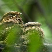 Large-tailed Nightjar (Caprimulgus macrurus) with chick in Kaeng Krachan national park, Thailand