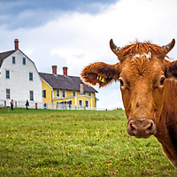 A curious cow grazing in the field at Canterbury Shaker Village. <br />