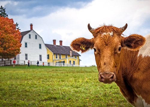 A curious cow grazing in the field at Canterbury Shaker Village. <br /> <br /> All Content is Copyright of Kathie Fife Photography. Downloading, copying and using images without permission is a violation of Copyright.