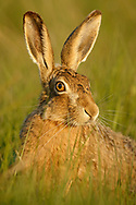 European Hare (Lepus europaeus) adult, close up, in grass meadow, South Norfolk, UK. May.
