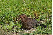 Blackbird - Turdus merula - Female. L 25-28cm. Familiar ground-dwelling bird. Sexes are dissimilar. Adult male has uniformly blackish plumage. Legs are dark but bill and eyering are yellow. 1st winter male is similar but bill is dark and eyering is dull. Adult and 1st winter female are brown, darkest on wings and tail, and palest on throat and streaked breast. Juvenile is similar to adult female but marked with pale spots. Voice Utters harsh and repeated tchak alarm call, often at dusk. Male has rich, fluty and varied song. Status Common and widespread in gardens, but in woodland, farmland and coasts. Upland birds move to lower levels in winter and migrants arrive from Europe.