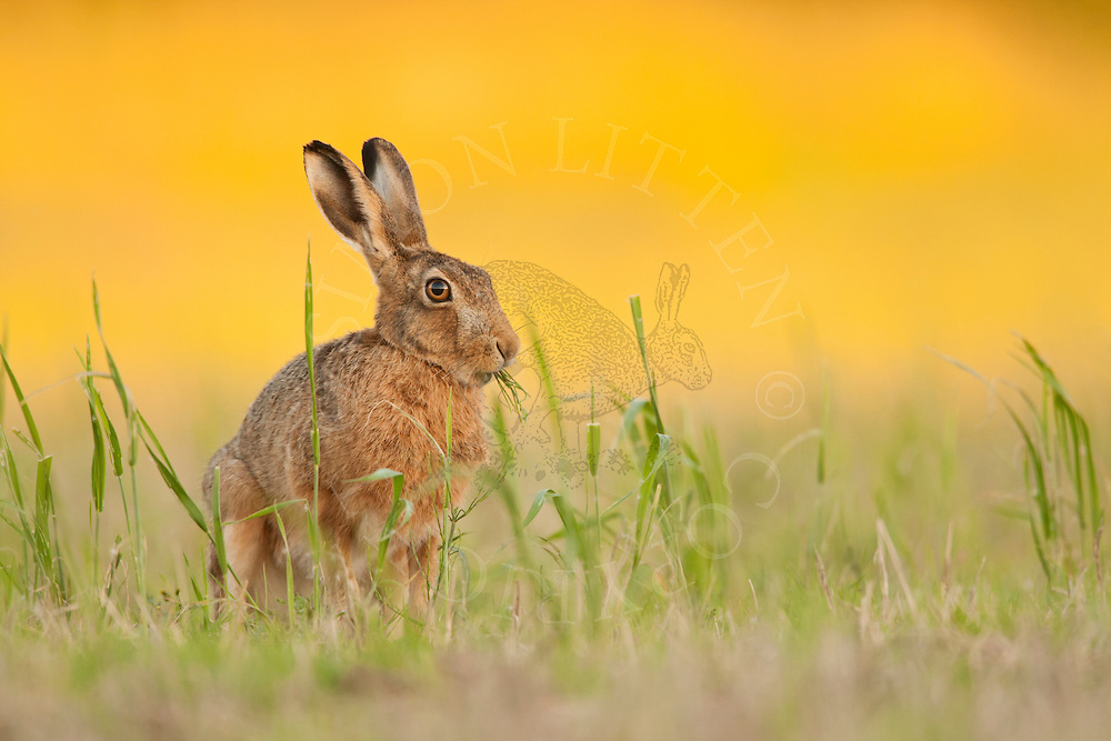 European Hare (Lepus europaeus) adult sitting in set-aside field, Norfolk, UK.