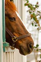 "Nine time champion saddlebred ""CH Gypsy Supreme"", Kentucky Horse Park, Lexington, Kentucky USA"