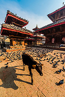 A cow and pigeons, Durbar Square, Kathmandu, Nepal.
