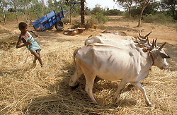 Young boy with team of oxen threshing rice by trampling on it; India,