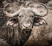 Buffalo cow, Water Buffalo<br /> Syncerus caffer, Hluhulwe Game Reserve, South Africa