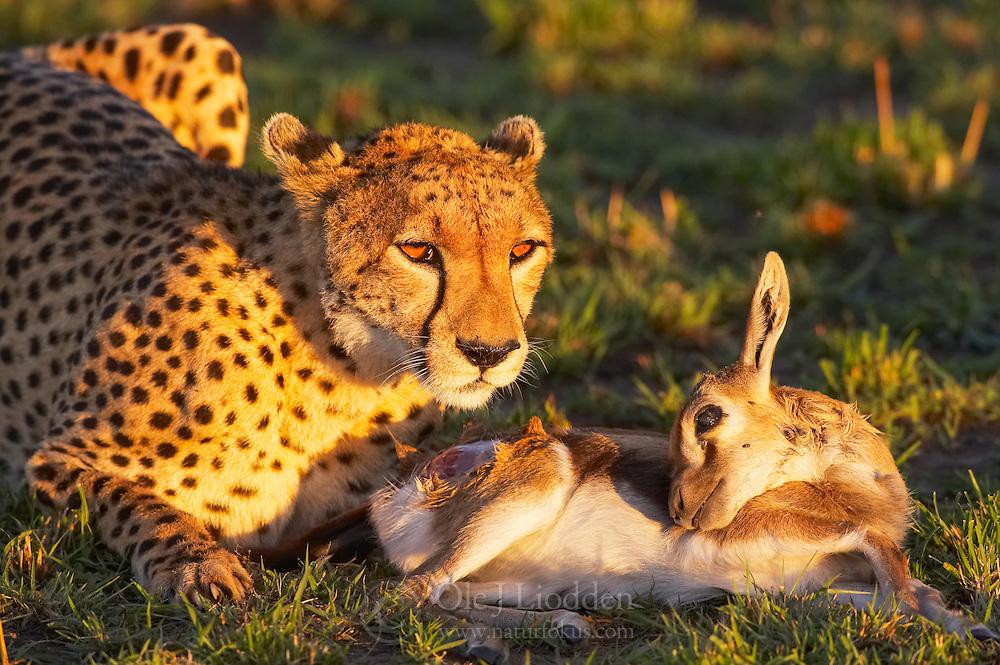 Cheetah (Acinonyx jubatus) in Masai Mara, Kenya
