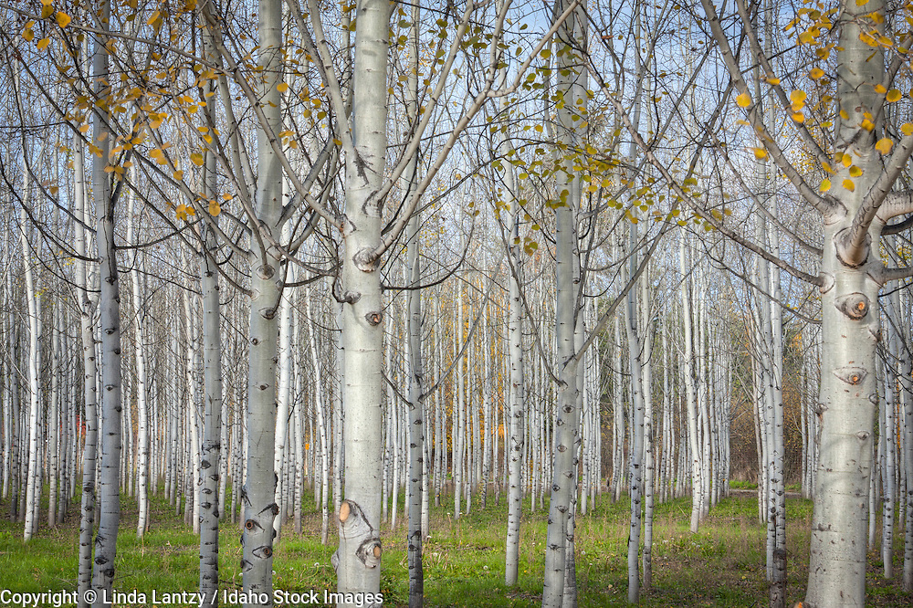 Idaho, North, Bonners Ferry. A planted grove of white bark aspens in autumn with just a few leaves hanging on.