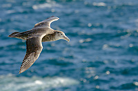 Northern giant petrel in the Southern Ocean off of Falkland Islands.