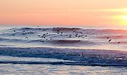 Ocean sunrise at Chincoteague NWR, Along with the beauty of the sky and waves, a flock of sanderlings graced this photo catching the morning sun on their wings.