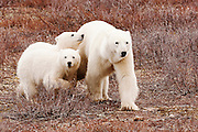 CANADA, Churchill (Hudson Bay).Polar bear (Ursus maritimus) with cubs