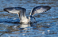 Immature Herring Gull looking for small fish (Larus argentatus) swimming,   Broad Cove river, Nova Scotia, Canada