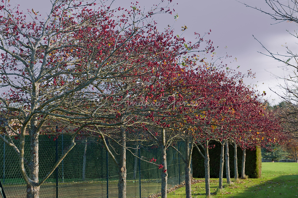Crabapple trees with red fruit by the tennis court at Hetton House, Northumberland, England