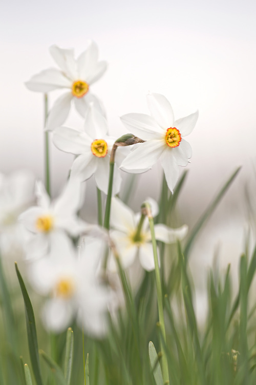 Wild narcissus flowers (Narcissus poeticus) against white background