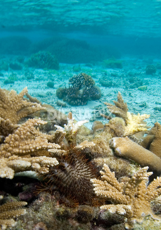 A crown of thorns starfish consumes coral. While still rarely seen at the Arnavons, epidemics of these invasive aliens are widely known to cause extensive reef damage.
