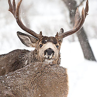 muledeer buck pursues doe heat deep snow winter