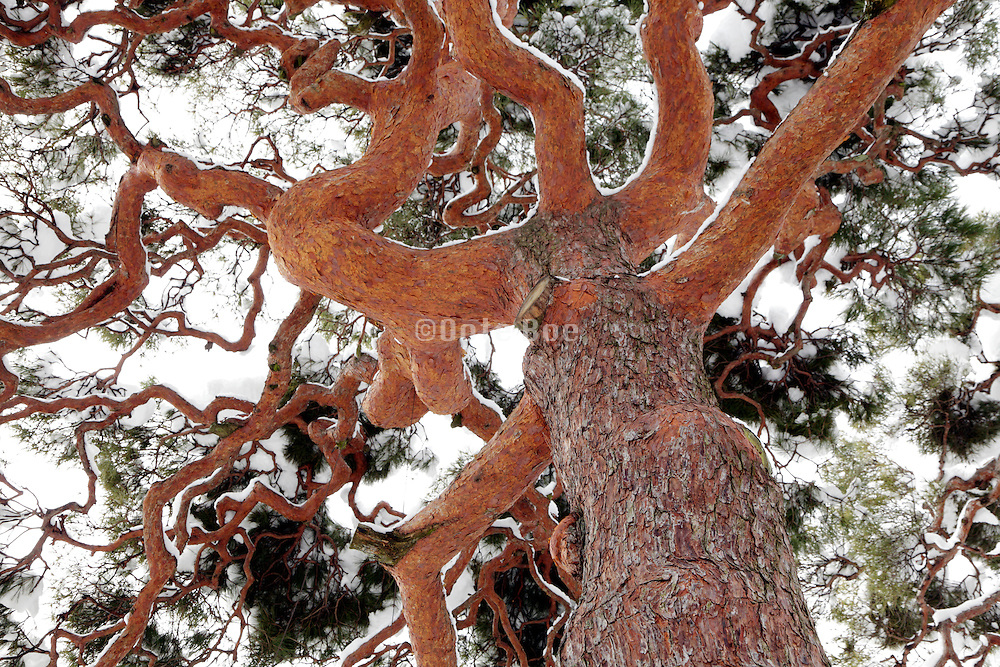 looking up the trunk of an old Japanese red pine tree covered with snow
