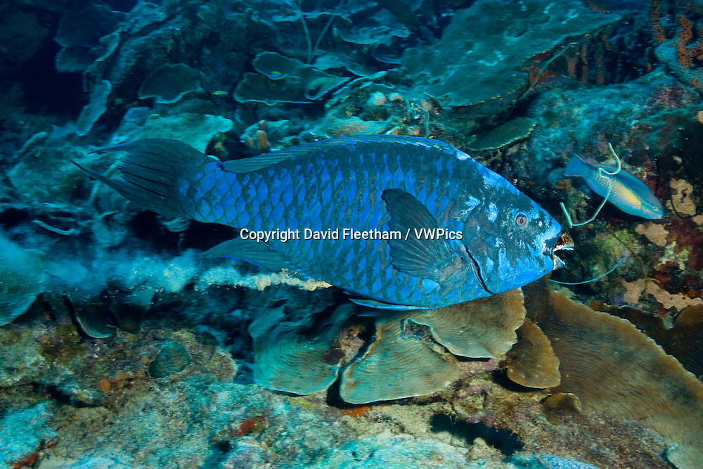 The blue parrotfish, Scarus coeruleus, can reach four feet in length. Parrotfish eat coral and expel sand, as this individual is demonstrating. Bonaire, Caribbean.