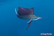 Atlantic sailfish, Istiophorus albicans ( considered by some to be a single species worldwide, Istiophorus platypterus ), lit up with bright blue markings and white tail, indicating an excited state, off the Yucatan Peninsula, Mexico, near Contoy Island and Isla Mujeres ( Caribbean Sea )