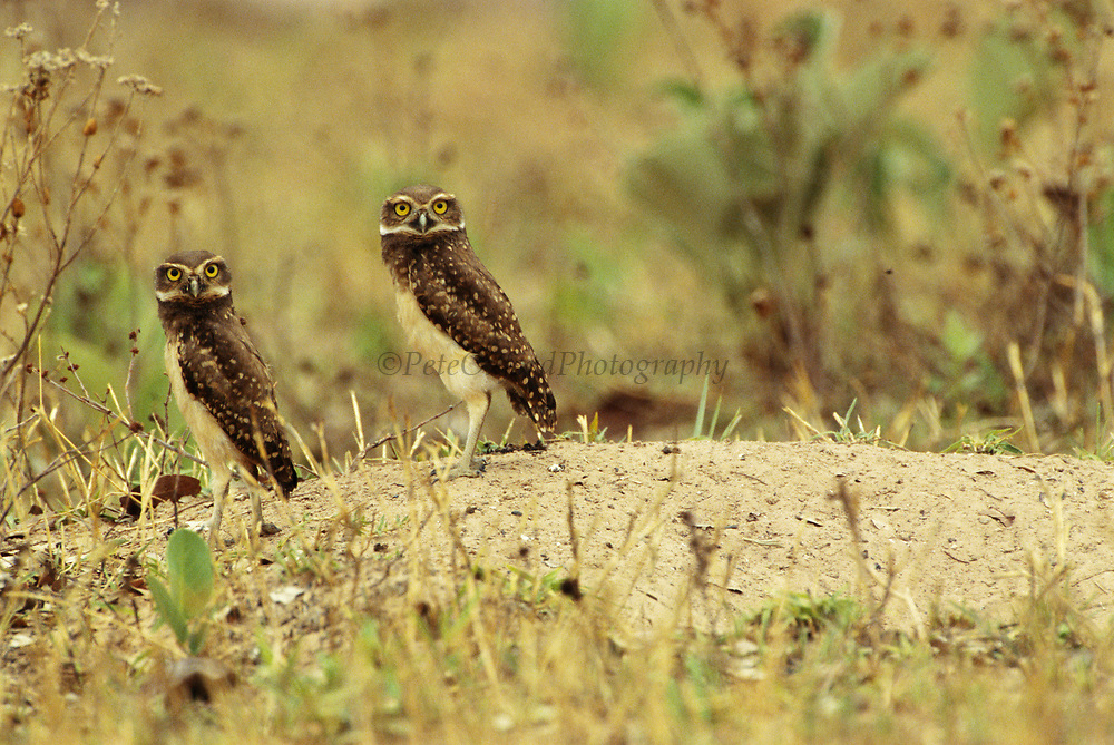 Burrowing Owls<br />