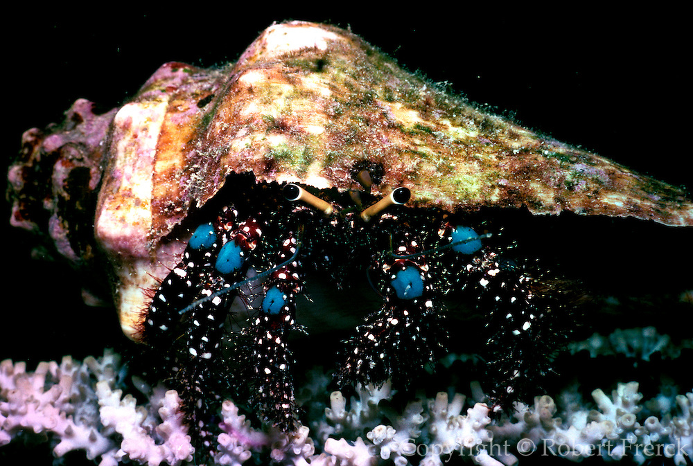 UNDERWATER MARINE LIFE WEST PACIFIC, Fiji Islands Hermit crab Paguridae