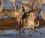 PlatteRiver2008.15-Sandhill Cranes make their annual stopover along the Platte River in central Nebraska during the spring migration.