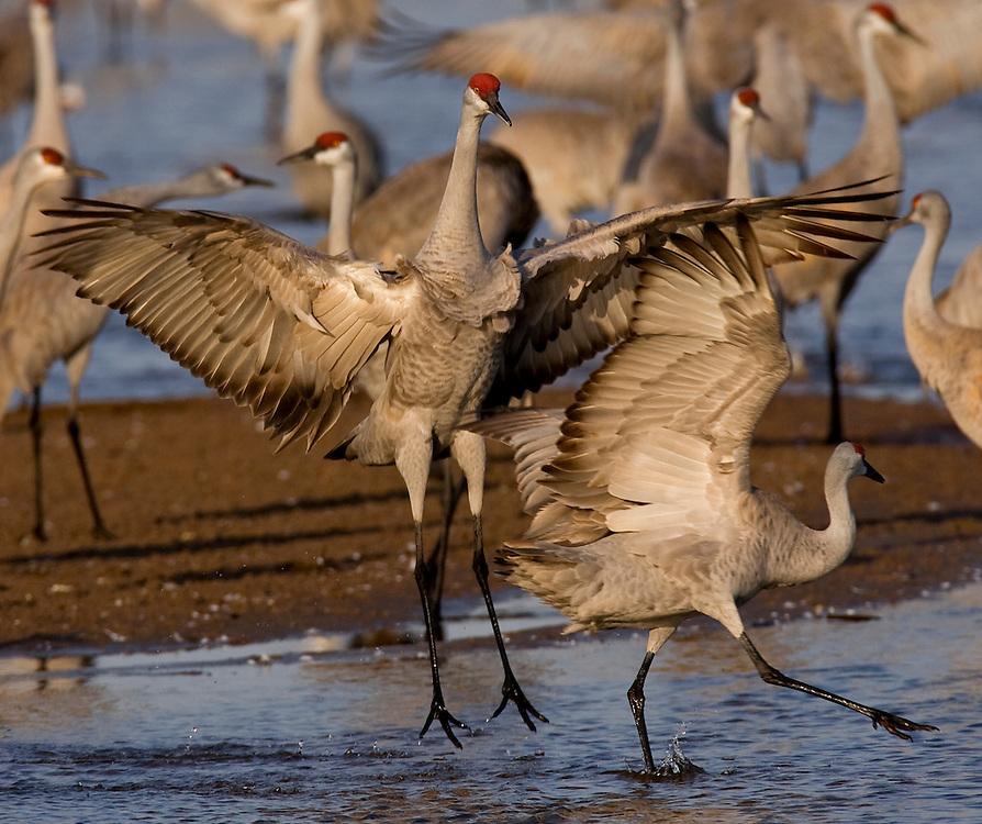 PlatteRiver2008.15-Sandhill Cranes make their annual stopover along the Platte River in central Nebraska during the spring migration.