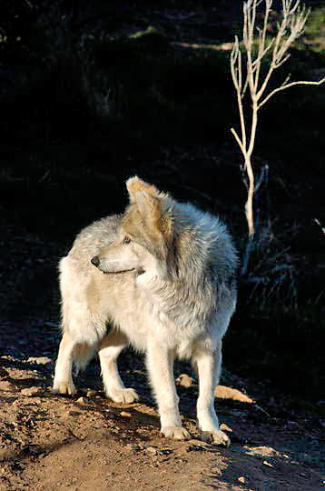 Mexican Wolf, (Canis lupus baileyi)  in an enclosure at the California Wolf Center in the Cuyamaca Mountains near Julian, California. They are part of the Southwest Wolf Project which was established to reintroduce these animals into habitat in the US and  Mexico they were exterminated from. Captive Animal.
