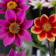 Pinwheel Dahlia<br />