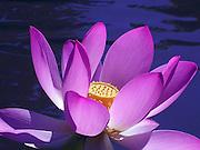 Pink Lotus Flower ~ Graceful and elegant open pink lotus flower ~ © Laurel Smith