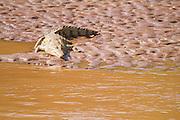 A nile crocodile basks in the sun in Samburu National Reserve, Kenya.