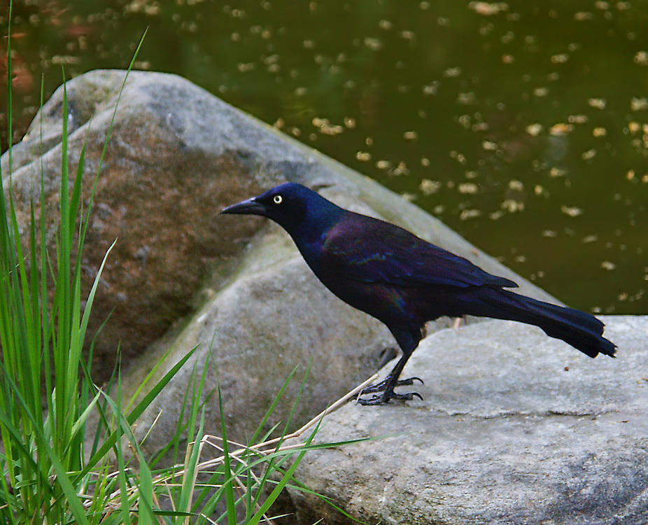 "The ""grackle rock"" inside the Japanese Gardens."
