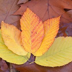 Stratham, NH.Ironwood, Carpinus caroliniana, leaves in fall.  Sandy Point Trail.