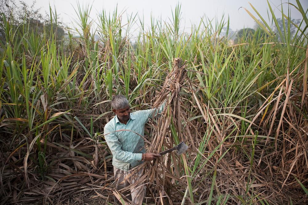 Farmers cut sugar cane at the outskirts of Modi Nagar, in Uttarpradesh, India, on Friday, November 12, 2010. Photographer: Prashanth Vishwanathan/Bloomberg News