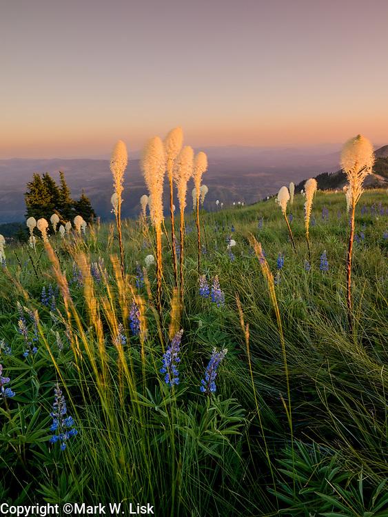 Bear Grass, Crystal Lake WSA, St. Joe National Forest, Idaho.