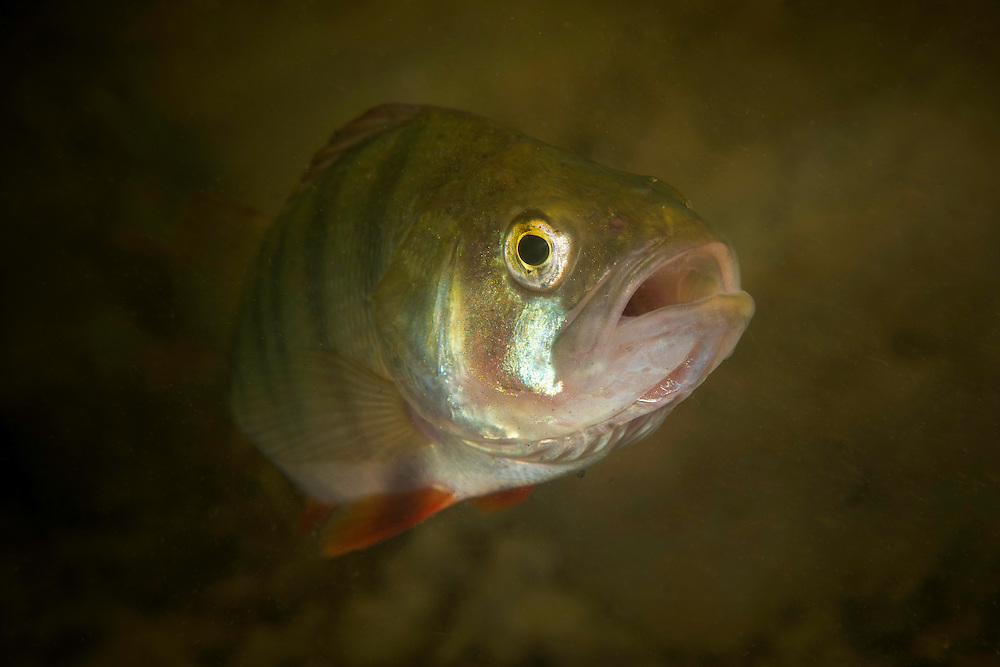 European perch (Perca fluviatilis) travel in small groups and is quite common in the Danube Delta, Romania.