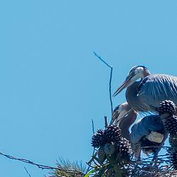 Great Blue Herons (Ardea herodias), Golden Gate Park, San Francisco, California, US