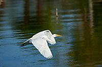 Great Egret (Ardea alba) in flight over Lake Chapala, Jocotopec, Jalisco, Mexico