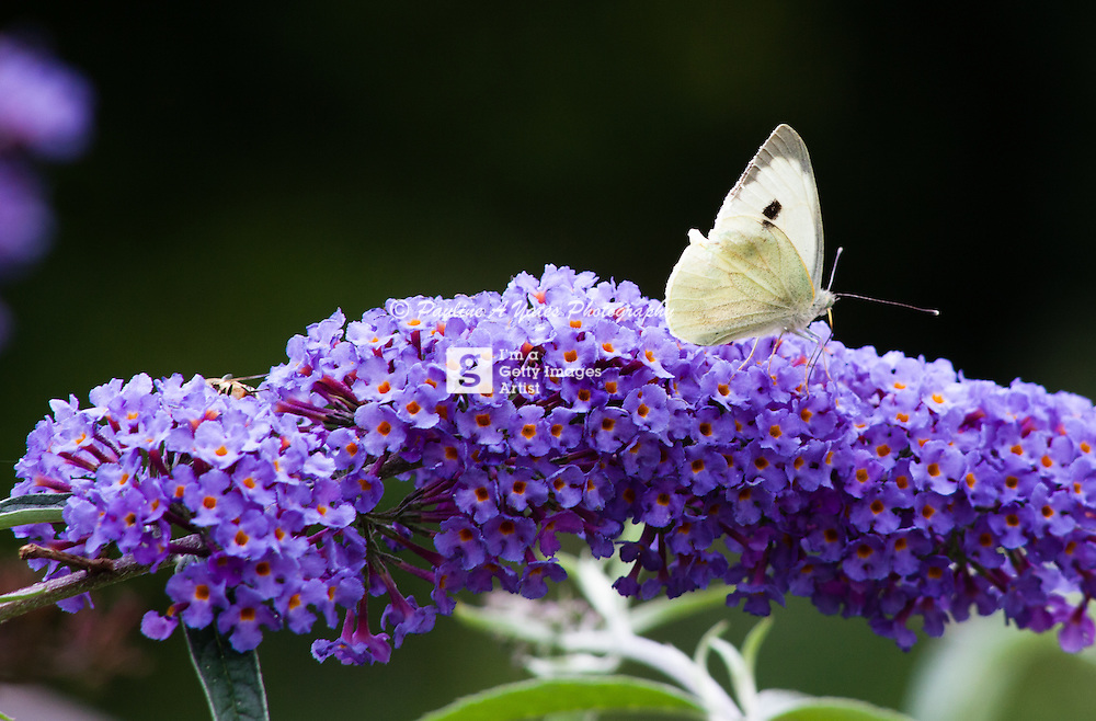 A large white butterfly rests on a flowering shrub, wings closed