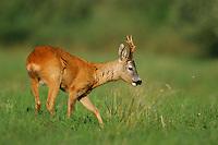 Roe Deer (Capreolus capreolus) the Carpathians; Carpathian Mountains; Bieszczady Mountains; Poland