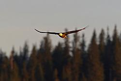 Bald Eagle (Haliaeetus leucocephalus) flies with evergreen trees in the background, Lake Clark National Park, Alaska, United States of America