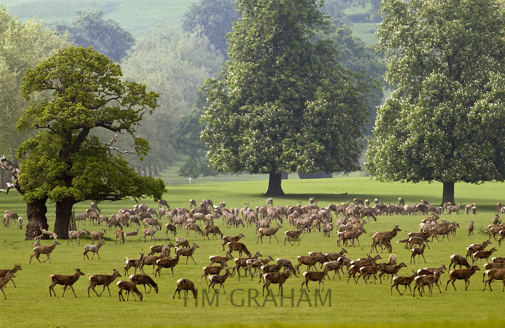 Herd of deer in Windsor Great Park, Berkshire, United Kingdom.