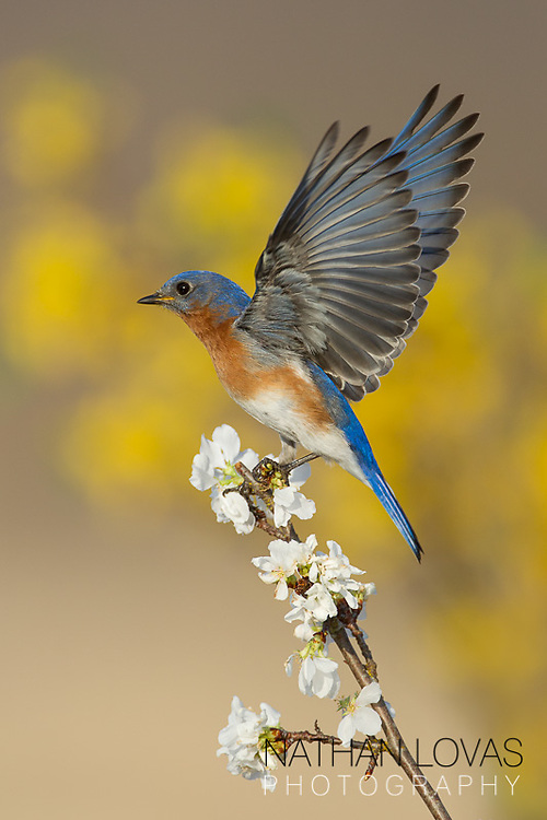 Eastern Bluebird male perched on cherry blossom;  Minnesota.
