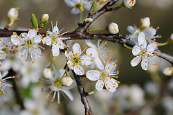 Sleedoorn, Prunus spinosa