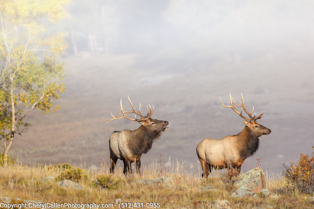 Two bull Elk in the fog on a mountain top in the Rocky Mountains